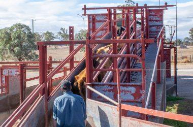new Australian livestock ramp standard